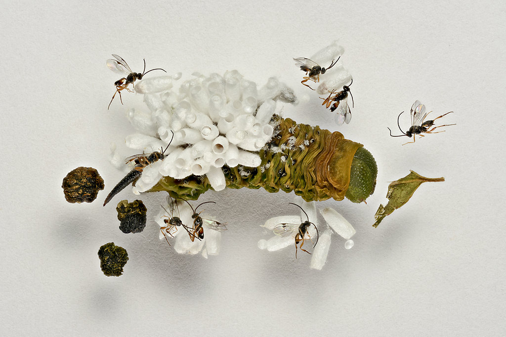 Hornworm and Wasps