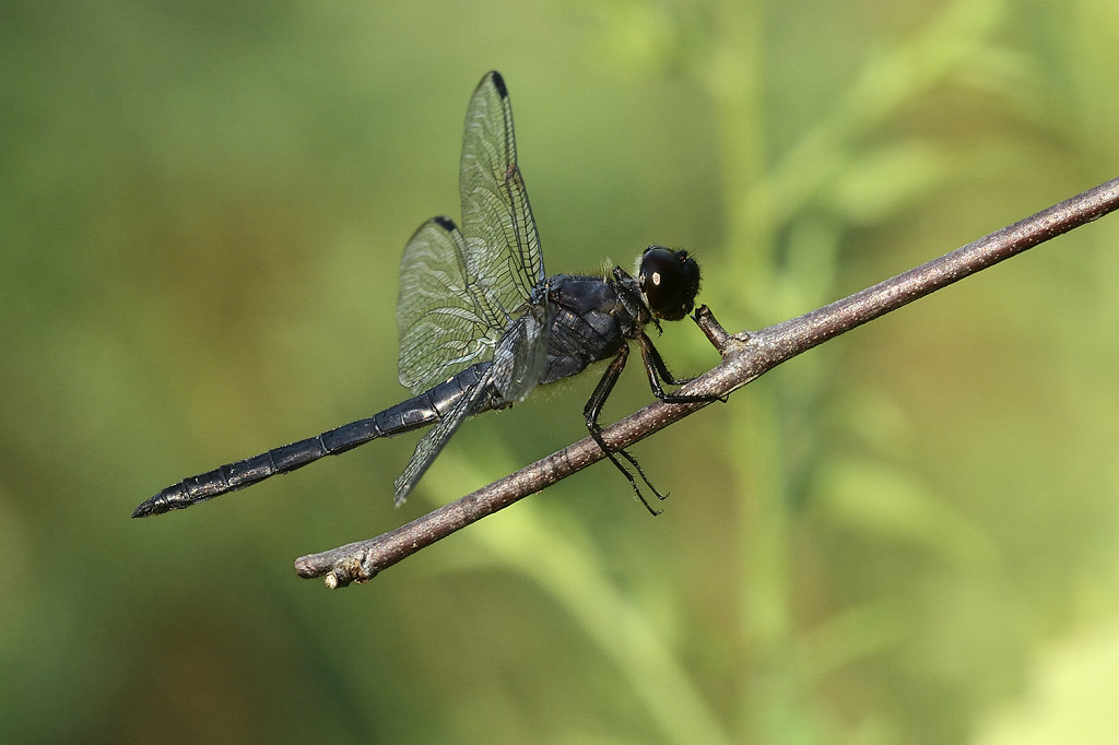 blackdragonfly-0557web.jpg