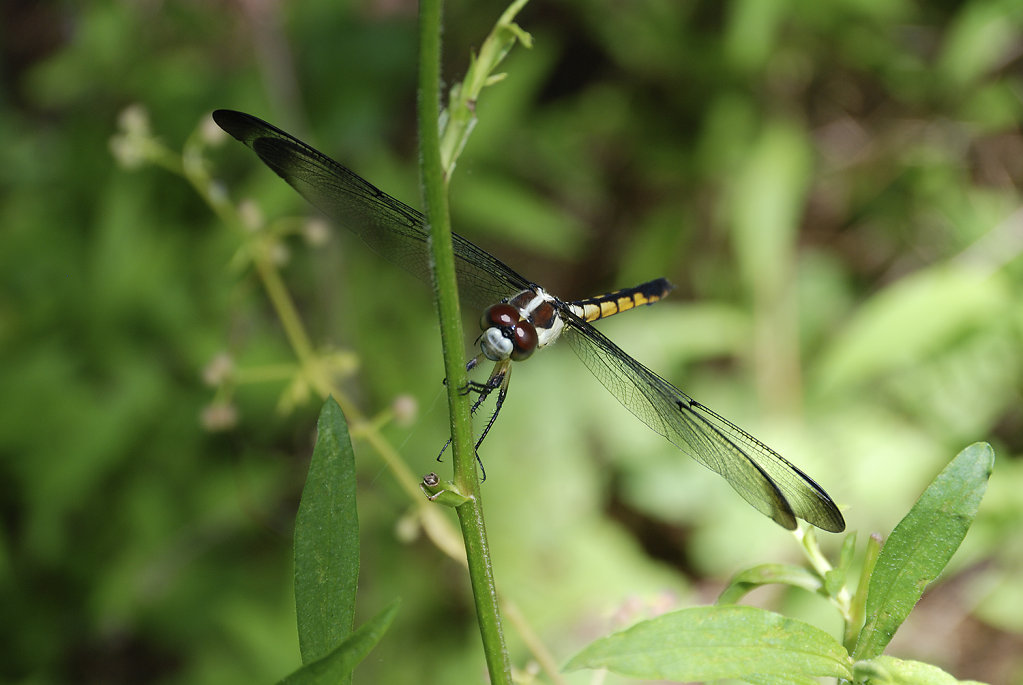 blackyellowdragonfly-9327web.jpg
