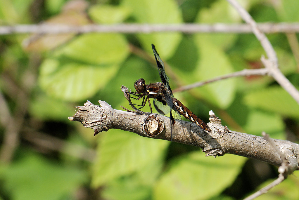 browndragonfly-4303web.jpg