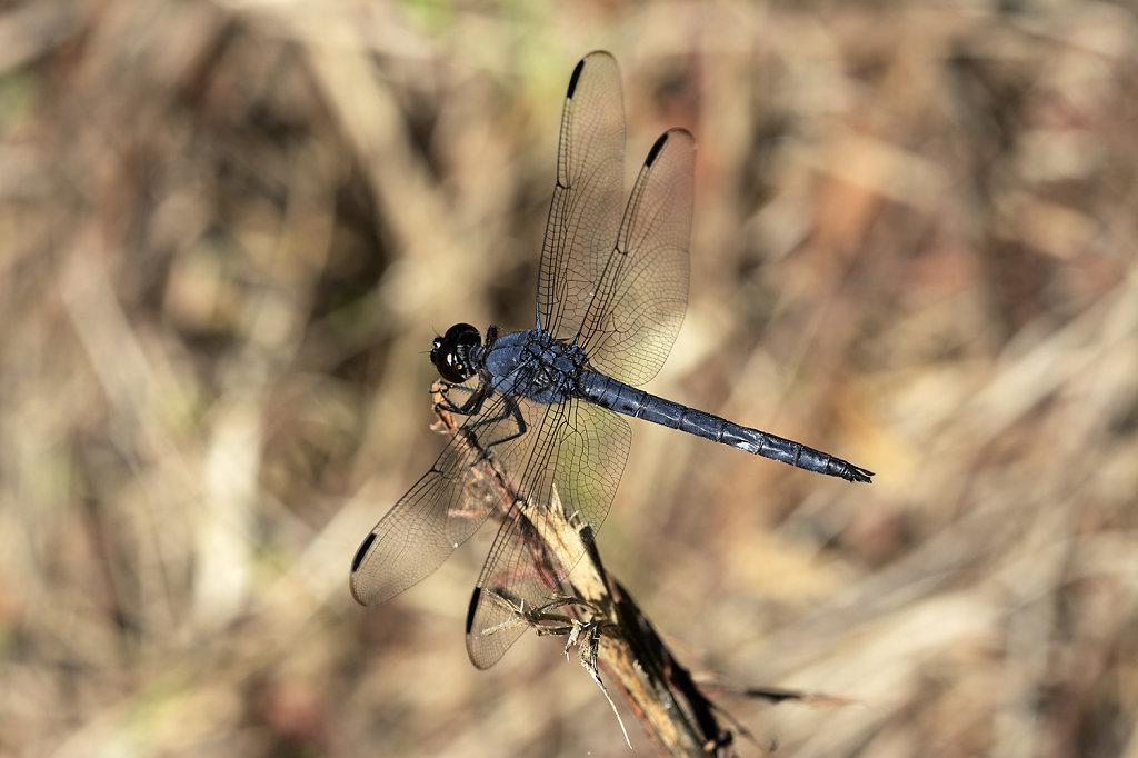 purpledragonfly-0878web.jpg