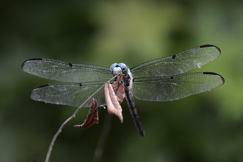 bluedragonfly-0925web.jpg