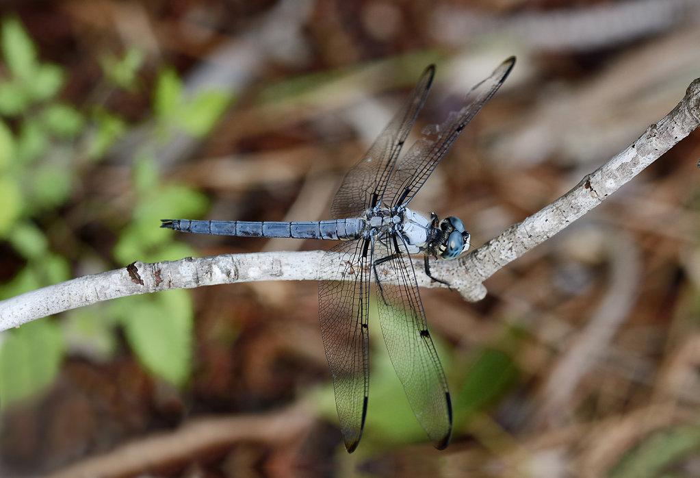 bluedragonfly2-0791web.jpg