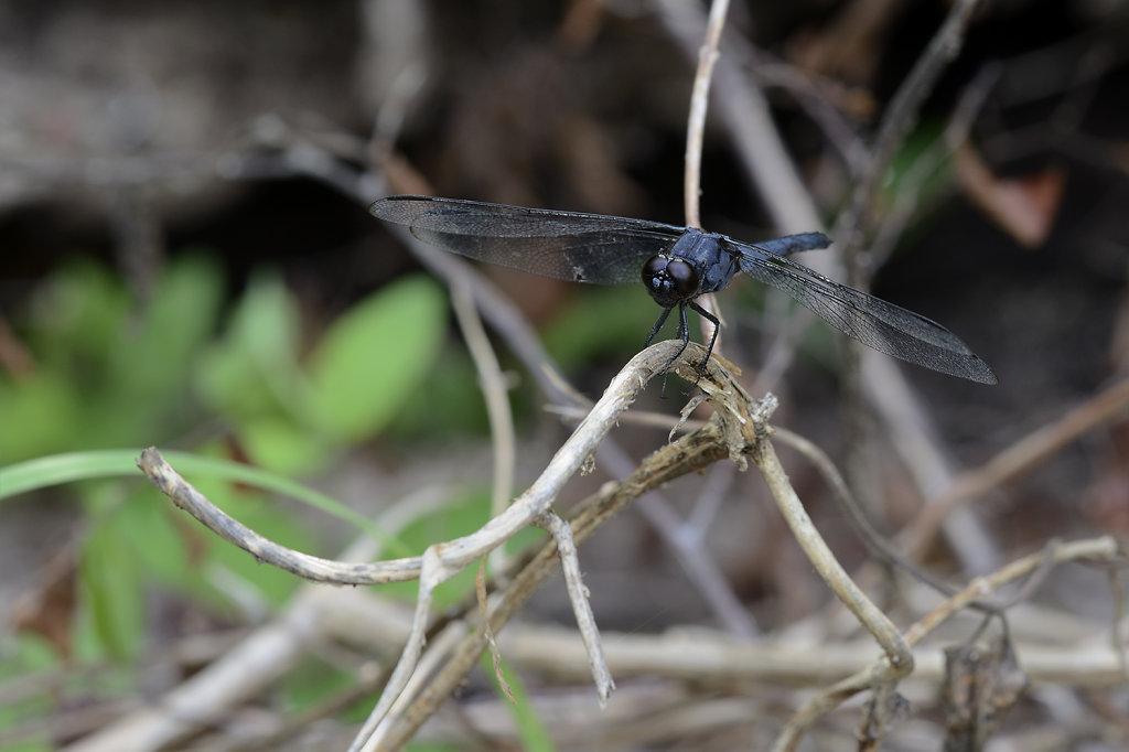 darkbluedragonfly-0928web.jpg
