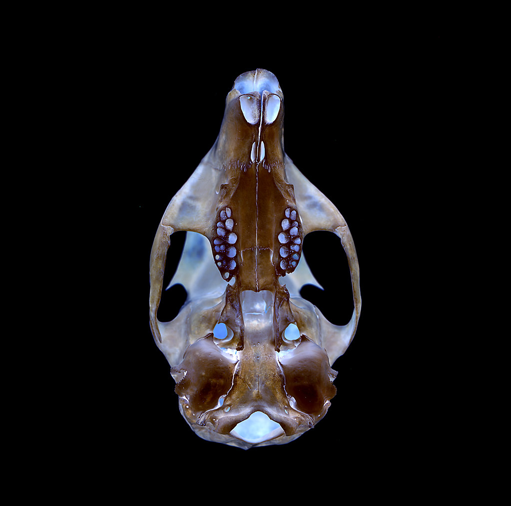 Squirrel Skull on White, Backlit, Inverted