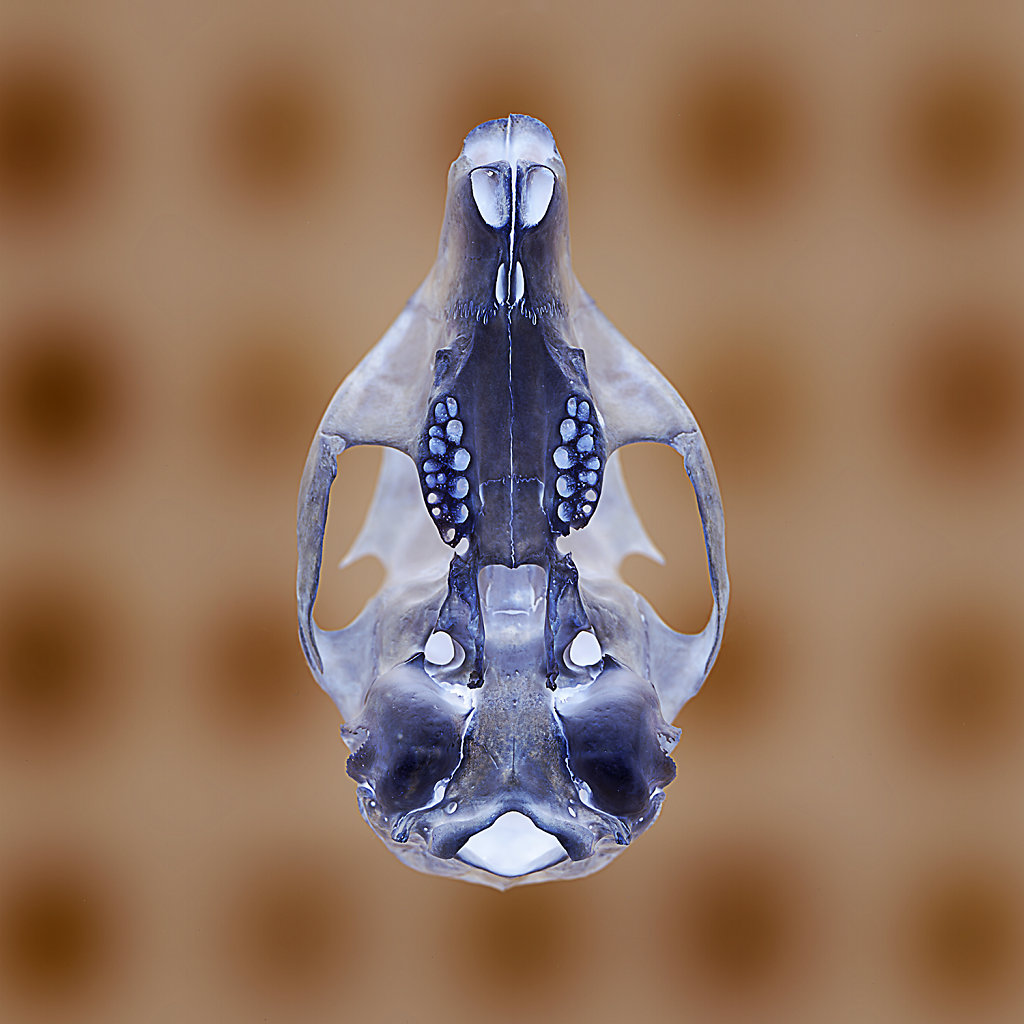 Squirrel Skull with Backlit Array, Inverted