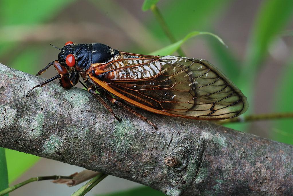 Brood XIX Cicada, 2011-1